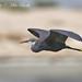 Western Reef Egret, Egretta gularis
