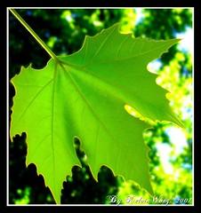 Maple Leaf photo by Kelvin Wong (Away)