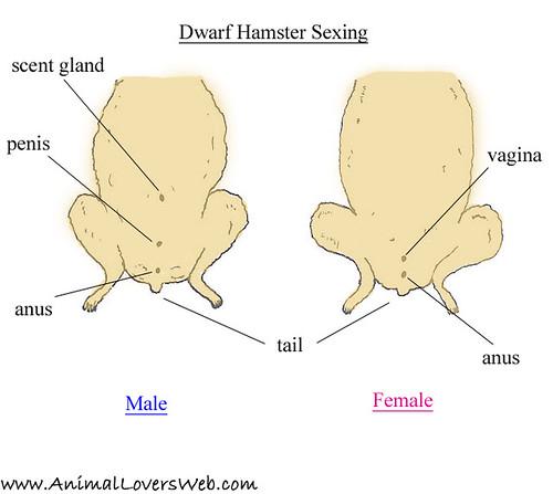 dwarf hamster anatomy. Black Bedroom Furniture Sets. Home Design Ideas