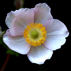 A single flower of an anemone from Japan. photo by Bienenwabe