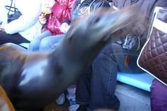 A sea lion walks through in our seats