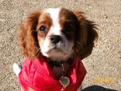"""Molly Grace"" - Cavalier King Charles Spaniel 12 weeks photo by Dawn Paperin"