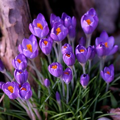 Flowers of a blue crocus in my garden. photo by Bienenwabe