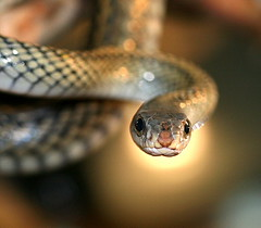 Chinese Rat Snake photo by Chi Liu