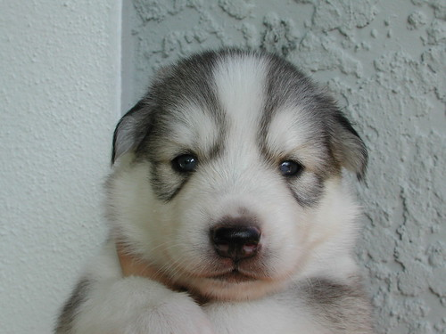 cute husky puppies wallpaper. quot;Tankquot; the mini Husky puppy