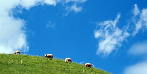 Cows & Jaunpass