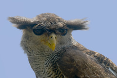♫ a view ö_ö  to a kill... and yoda owl rises again♫ - bubo sumatranus - wildlife from bali♫ photo by bocavermelha-l.b.