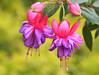 Macro de Brinco-de-Princesa, Fúcsia - Fuchsias flowers's macro (Fuchsia magellanica) - Fuchsia gracilis, Hardy fuchsia 12 20-04-07 047