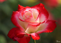 my favorite rose photo by * Yumi *