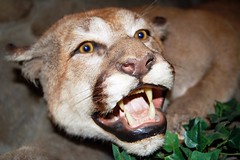 7a. Mountain Lion Photo