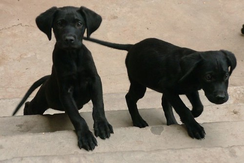 Image result for 2 black puppies pictures