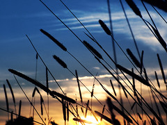 A gentle wind blows the reeds at sunset photo by eqqman