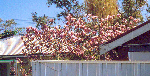 Magnolia Denudata over the fence