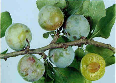 prunes