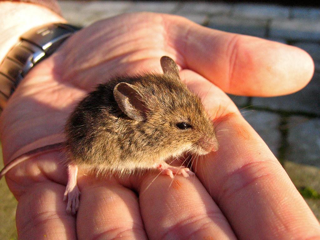 Tag muis michel vuijlsteke 39 s weblog - Ontwikkel een kleine huisinvoer ...