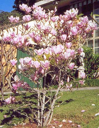 Magnolia Denudata Against Frangipani