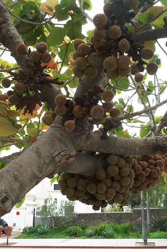 A fig tree ripe with heavy fruit