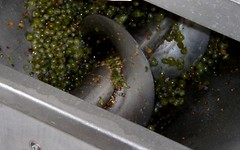 Grapes recently destemmed