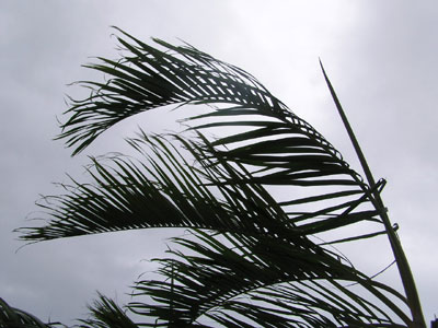 Typhoon Nabi - Okinawa Palm Tree 1120AM 09/04