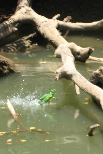 Basilisk (aka Jesus Christ lizard) walking on the water