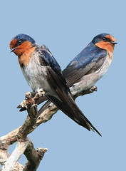 Contemplative Swallows photo by Birds of the South