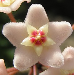 hoya carnosa photo by Michiel Thomas