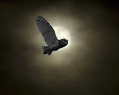Barn owl in the moon photo by Romair