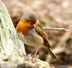 Double Chinned Robin photo by Jennie Anderson