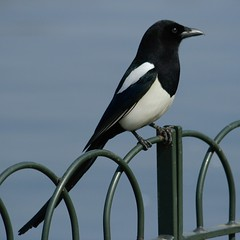 Magpie photo by pearceval