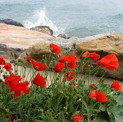 Poppies on the sea photo by ludi_ste