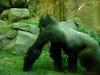Bronx Zoo - Congo Gorilla Forest