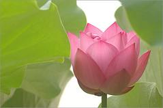 Lotus Flower - IMGP4576 photo by Bahman Farzad