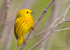 _53F3326-Edit Yellow Warbler photo by ~ Michaela Sagatova ~
