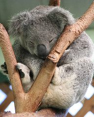 Sleepy koala photo by ati_gratisis