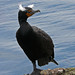 double-crested-cormorant-4-22-07_6