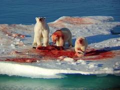 Greenland - Polar Bears photo by Olof S