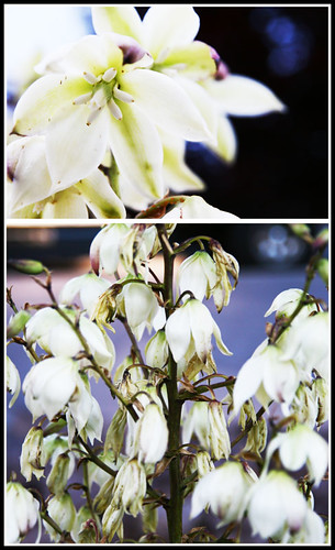 Day 154...2008...Yucca Flowers...