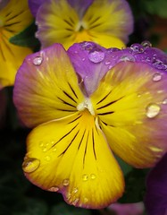 pansy in the rain photo by tanakawho