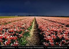 Netherlands - Pink Tulip Field under Stormy Attack photo by © Lucie Debelkova / www.luciedebelkova.com