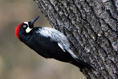 1c. Acorn Woodpecker Photo