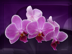 Orchids photo by Bessula