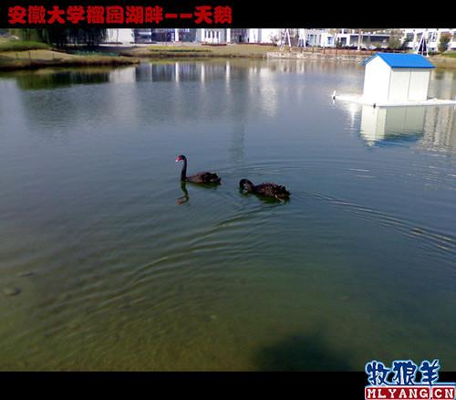 安徽大学榴园湖畔天鹅_02
