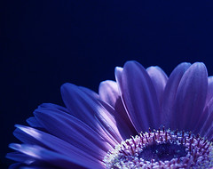 part of blue gerbera 1mb