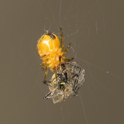 Spinnetje met bladluis