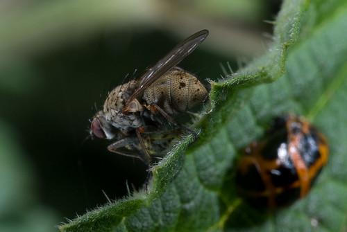 Vlieg en lieveheersbeestcocon