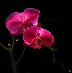 Orchids On Black photo by tishay