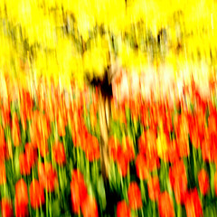 Tulipany / Tulips photo by Tomek Koziel