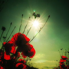 ~ poppies in the sun ~ photo by ~ Pixel Passion ~