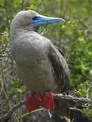 Red-footed Booby bird, Galapagos Islands photo by Alida's Photos