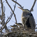 Three Great Blue Heron chicks are in this nest (bird), at the Morro Bay, CA, Heron Rookery